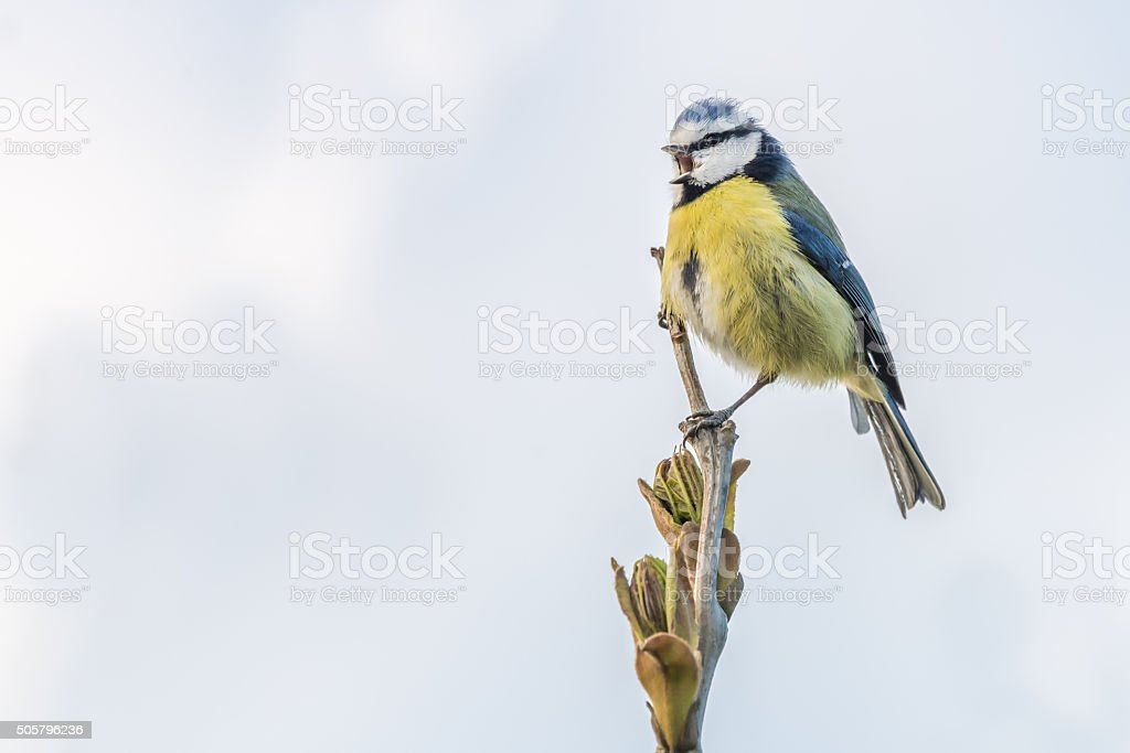 Blue tit singing on a spring evening stock photo