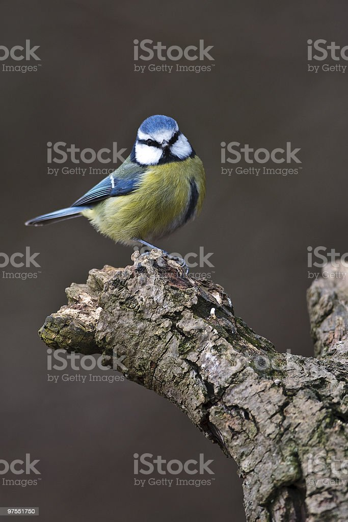 Blue Tit sitting on a branch royalty-free stock photo