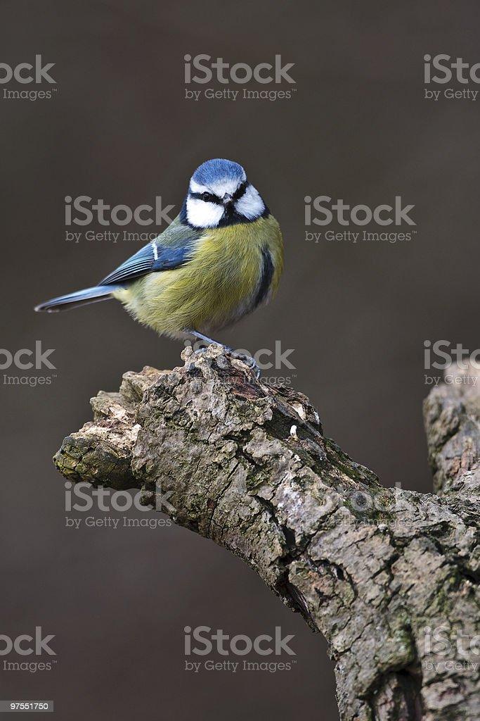 Mésange bleue, assis sur une branche photo libre de droits