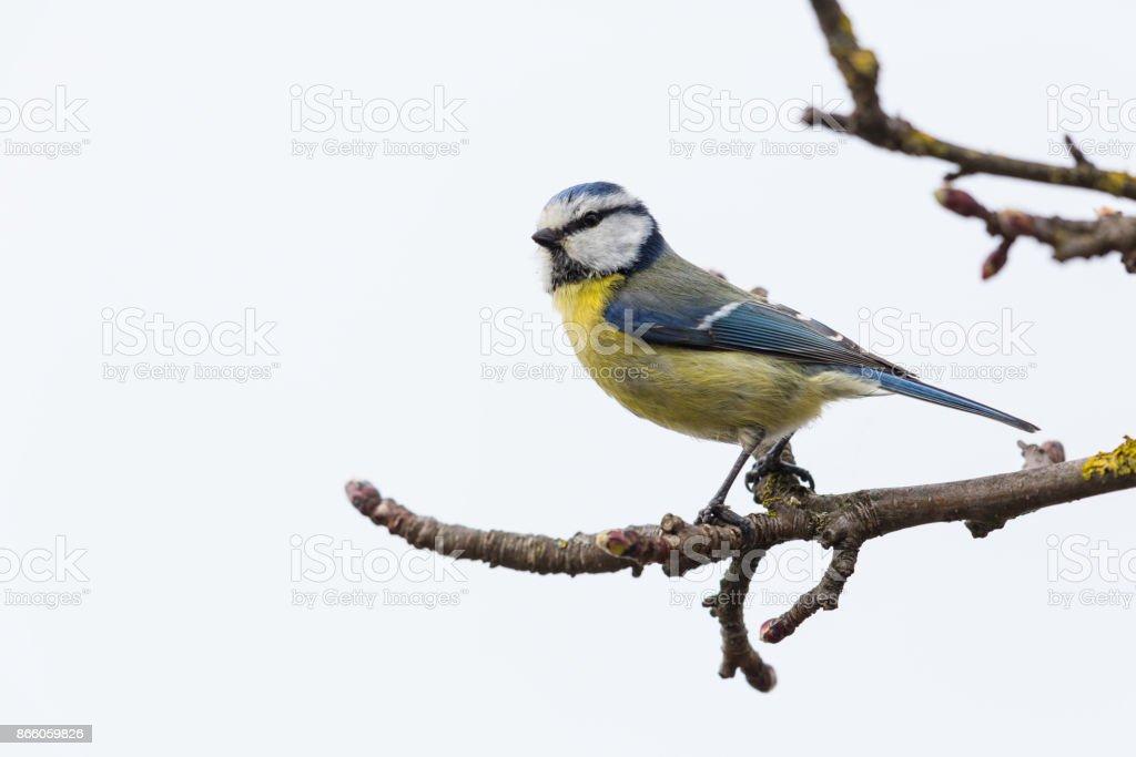 Blaumeise (Parus Caeruleus) auf Ast – Foto