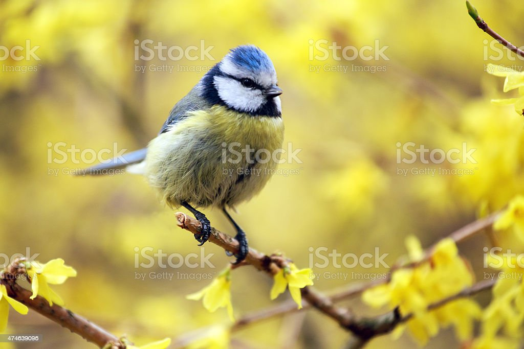 Blue tit sitting on the branch of an ordinary forsythia. stock photo
