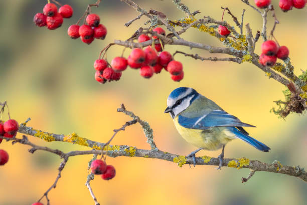 Blue tit sitting on the branch of Hawthorn stock photo