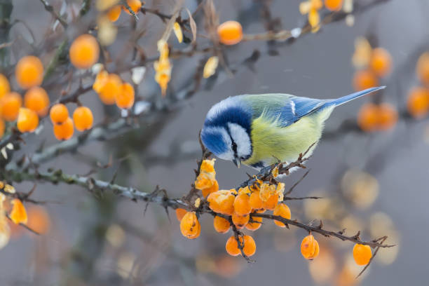 Blue tit sitting on the branch of sea-buckthorn and peck berries stock photo