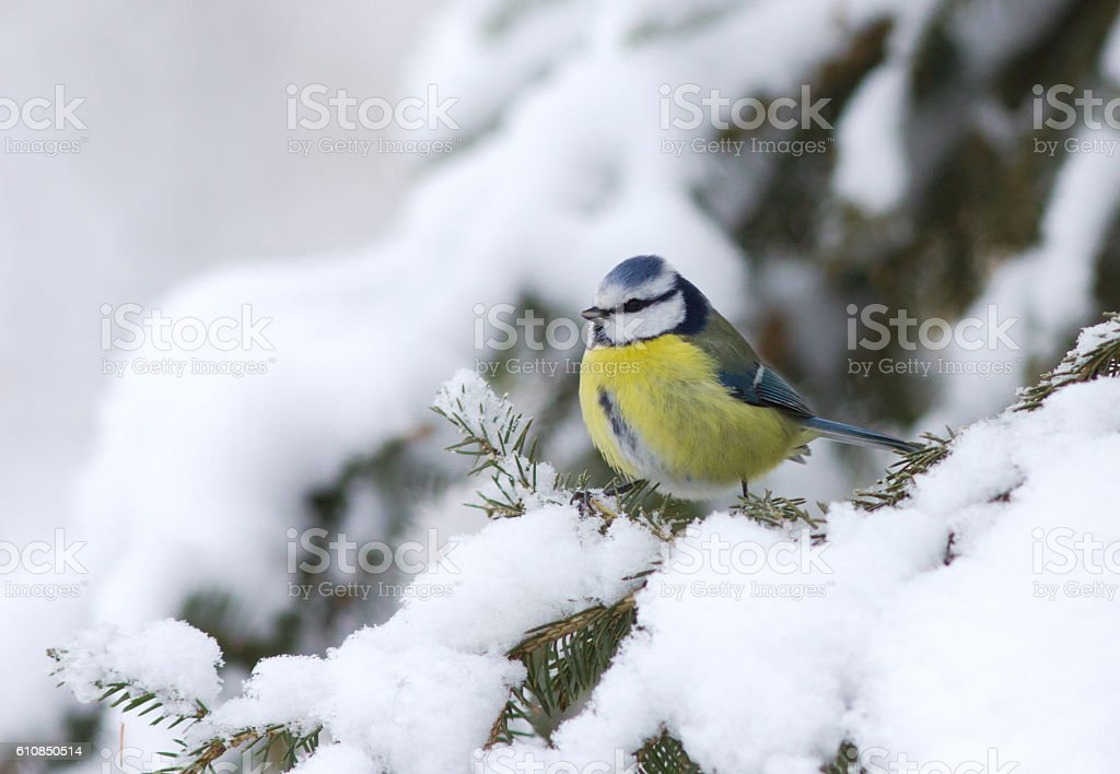 Blue tit sitting on the winter branch stock photo