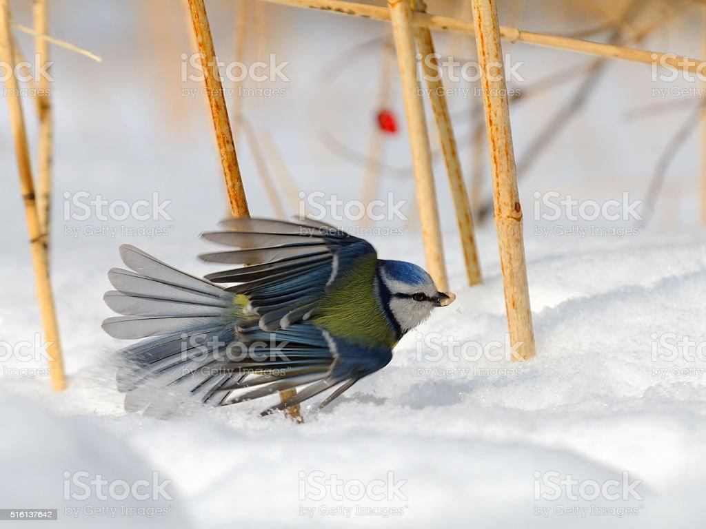 Blue Tit (Parus caeruleus, Cyanistes caeruleus) take-off in the snow stock photo