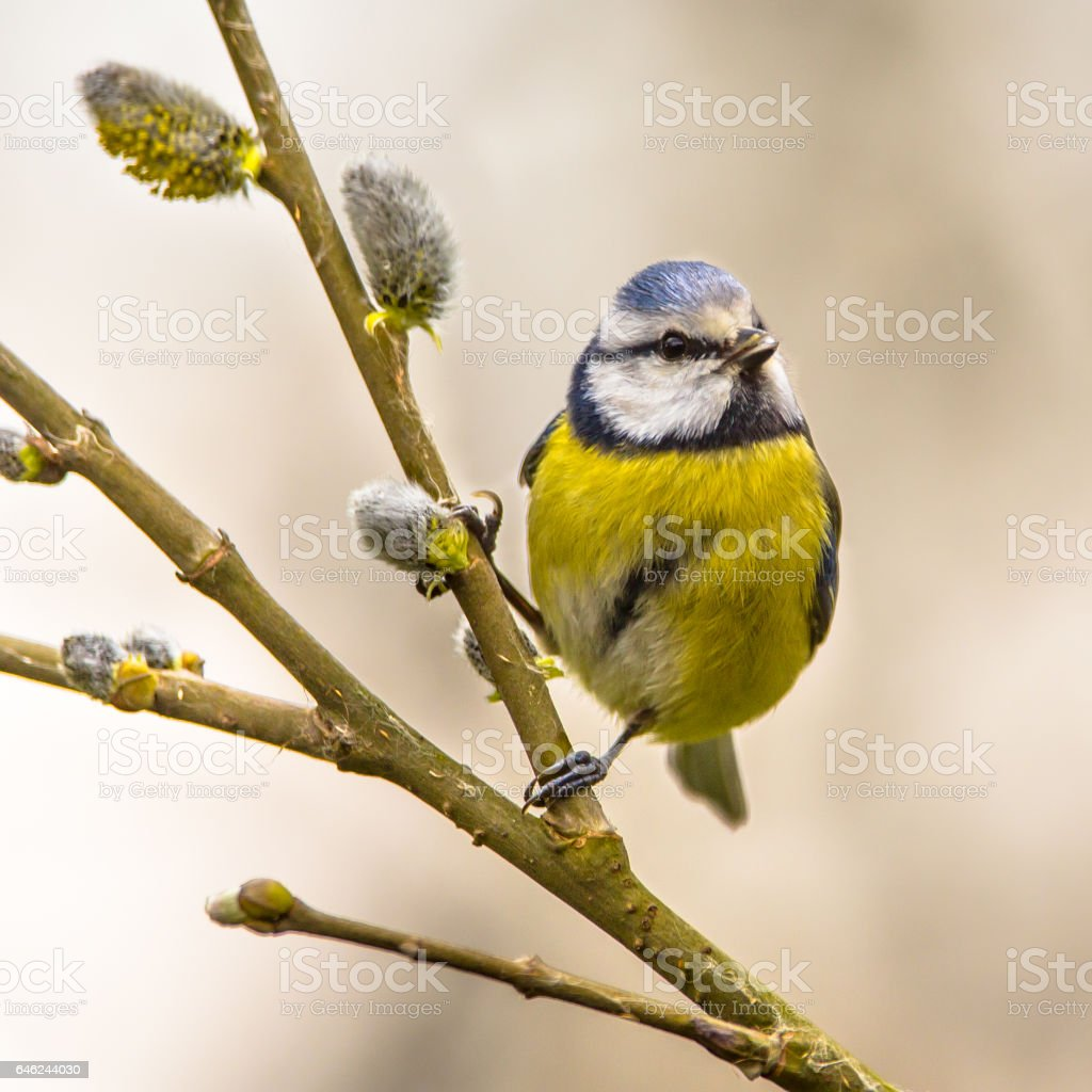 Blue tit willow twig stock photo
