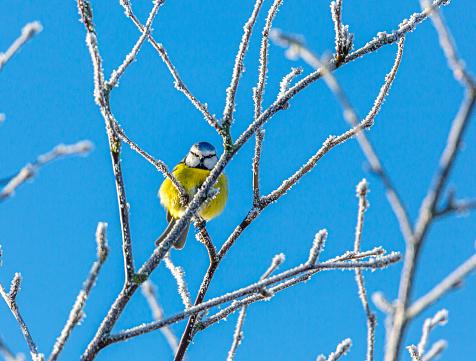 Blue Tit bird stting on a winter branch,
