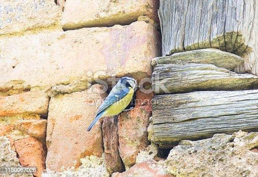 Blaumeise mit Nest in einer Mauerhöhle füttert die Nachkommen