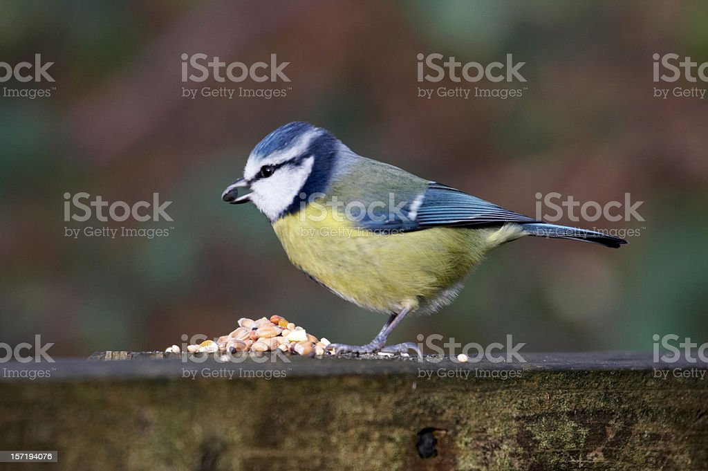 Blue tit with seed royalty-free stock photo