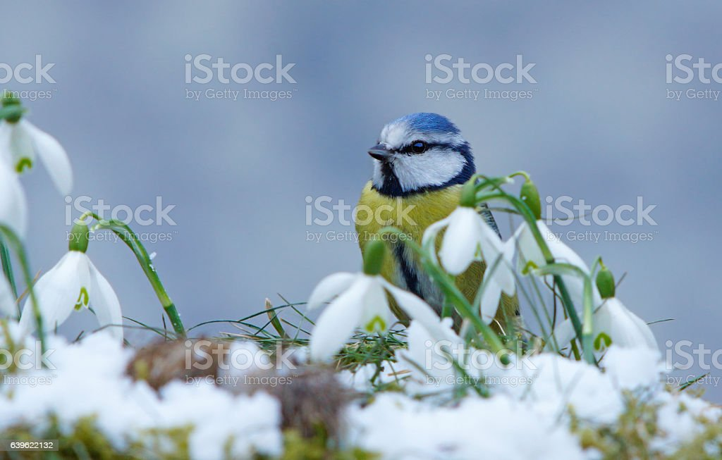 Blue tit with snowdrops stock photo