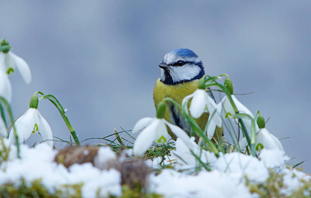 blue tit with snowdrops - snowdrops stock photos and pictures