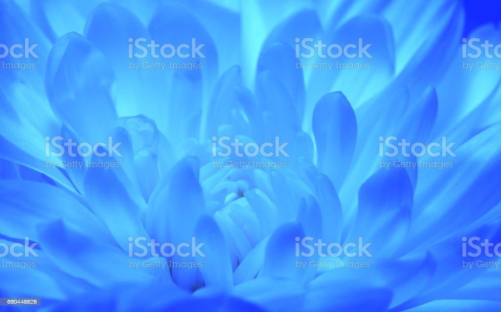 Blue toned chrysanthemum flower, macro shoot stock photo