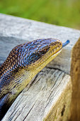 Blue tongue skink with tongue sticking out