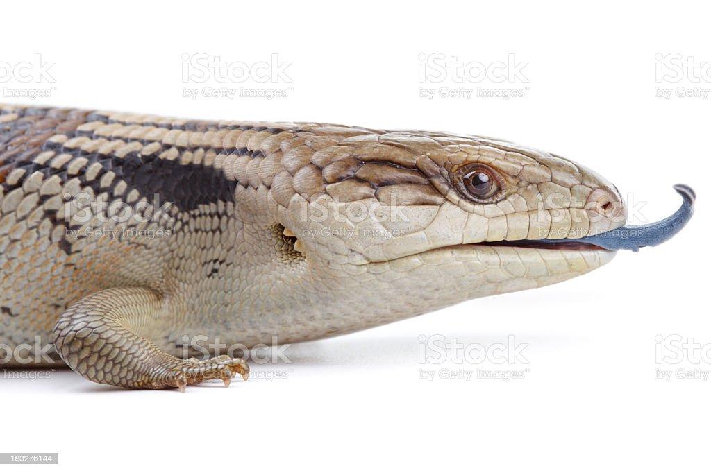 Blue Tongue Lizard royalty-free stock photo