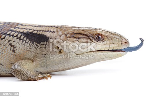 Eastern Blue Tongue Lizard (Tiliqua Scincoides) isolated on a plain white background.