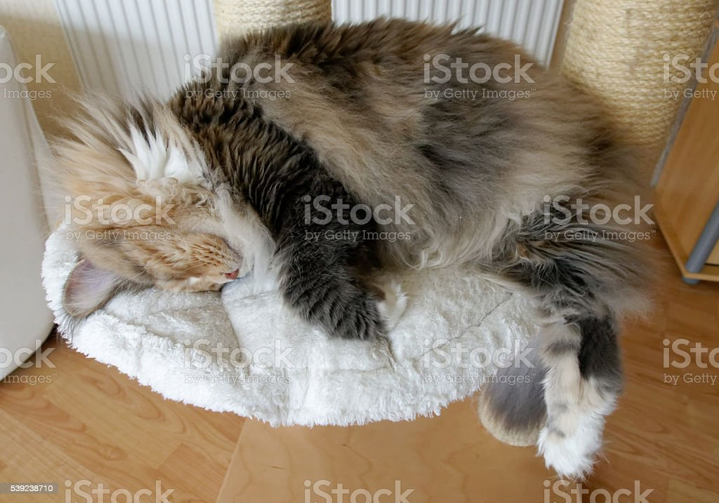 Blue tortie tabby with white Maine Coon on cat tree royalty-free stock photo
