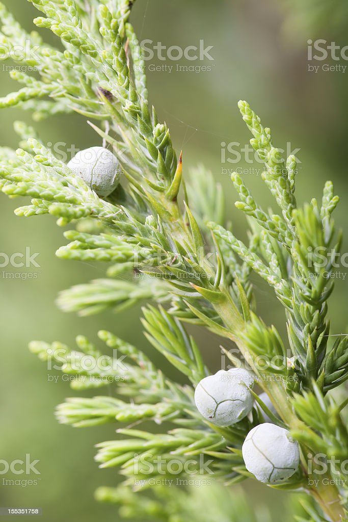 Blue Trail Juniper stock photo