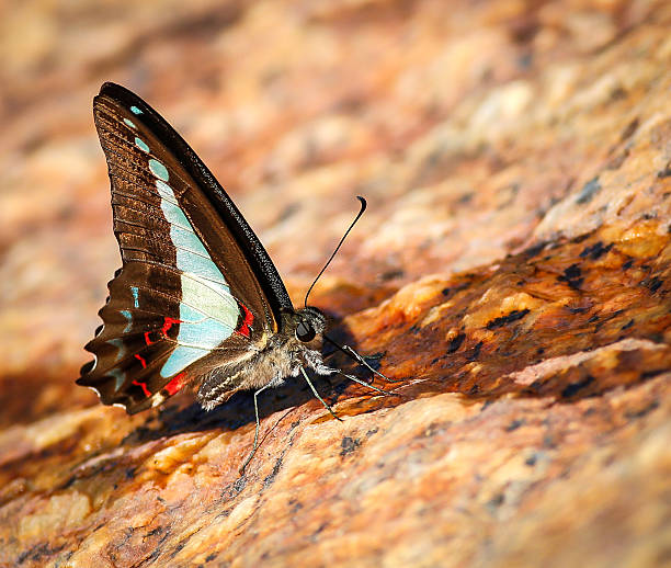 Blue Triangle Butterfly stock photo