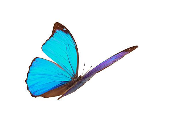 Blue tropical butterfly picture id534035250?b=1&k=6&m=534035250&s=612x612&w=0&h=pkel2ghnsmo ndxhsl2mlr77qjbk w dm iltw1l264=