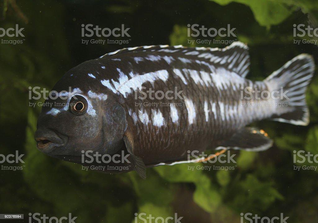 Blue tropical fish Melanochromis sp. Johanni royalty-free stock photo