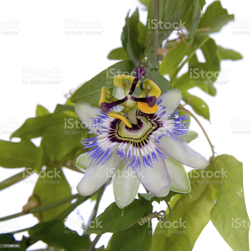 Blue  tropical flower royalty-free stock photo