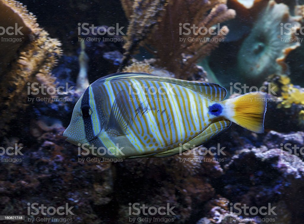 blue Tropical Marine Fish Coral Reef stock photo