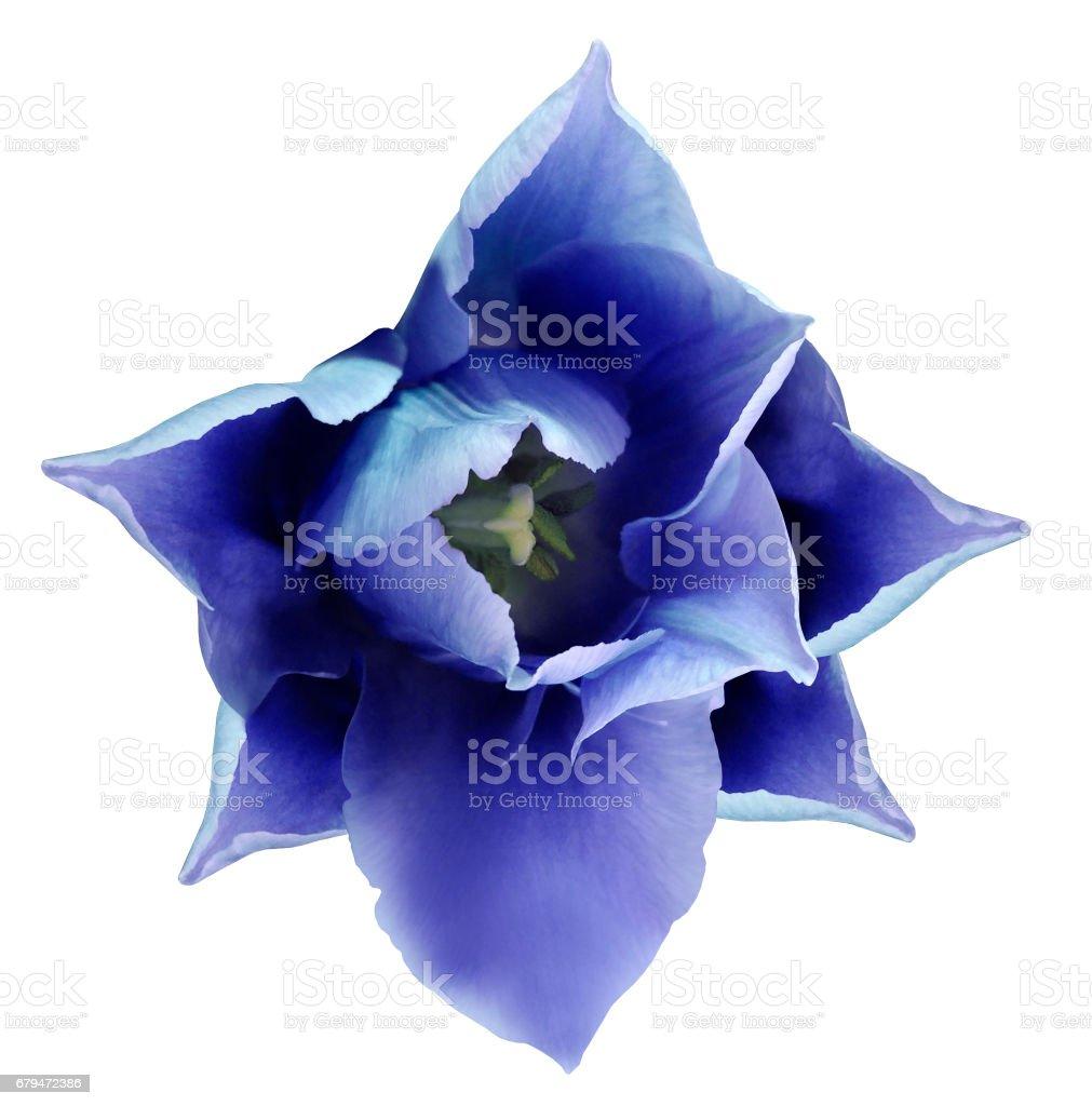 藍色的鬱金香花。 美白隔離背景與裁剪路徑。  特寫鏡頭。 沒有陰影。 為設計。 自然。 免版稅 stock photo