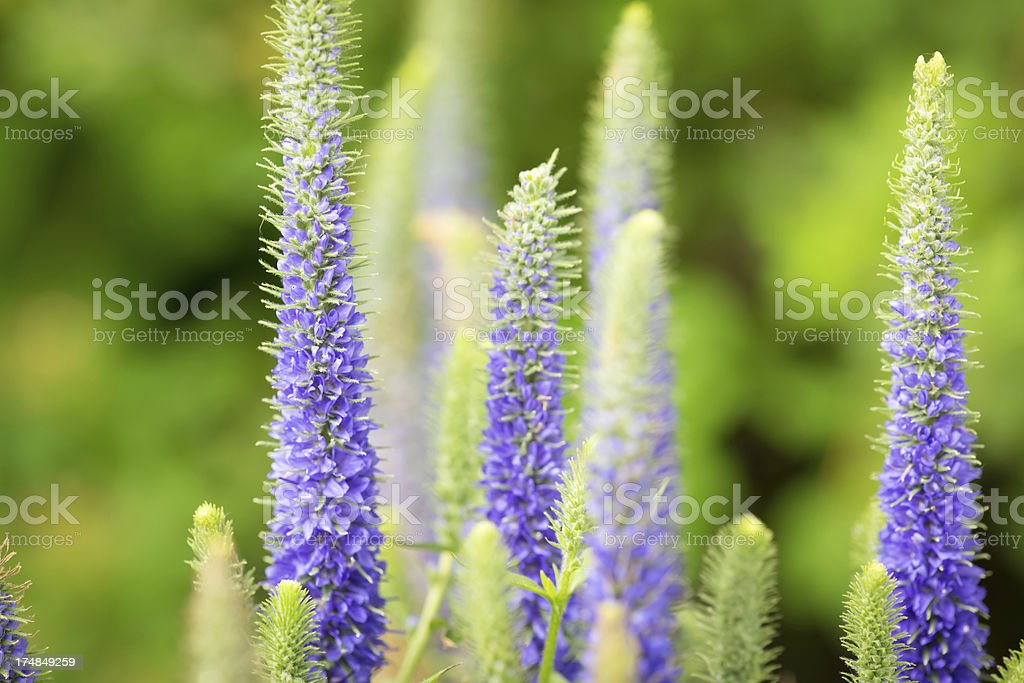 Blue Veronica royalty-free stock photo