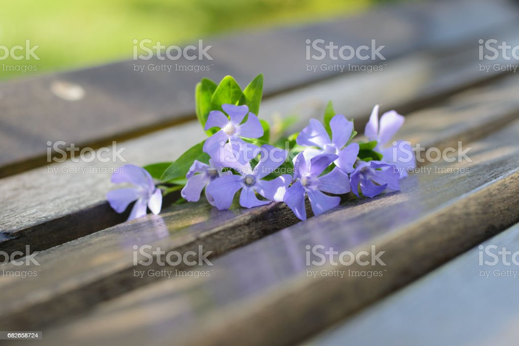 Blue vinca flowers lie on  bench stock photo