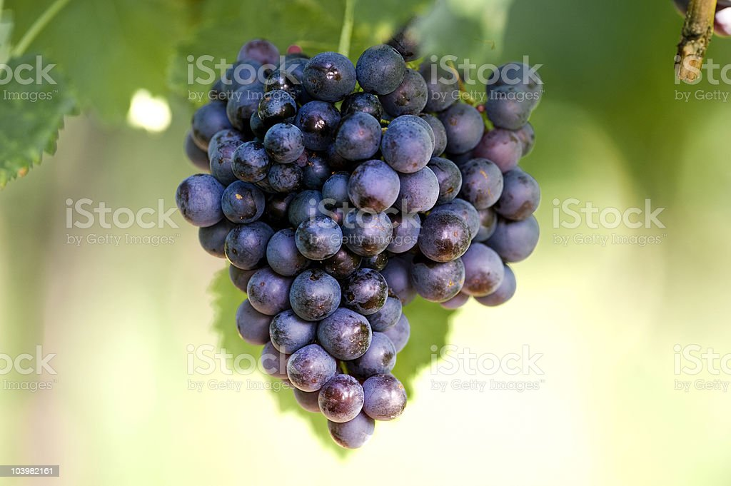blue vine berries stock photo