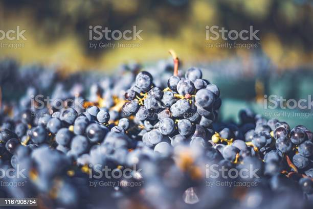 Photo of Blue vine grapes. Grapes for making ice wine in the harvesting crate.