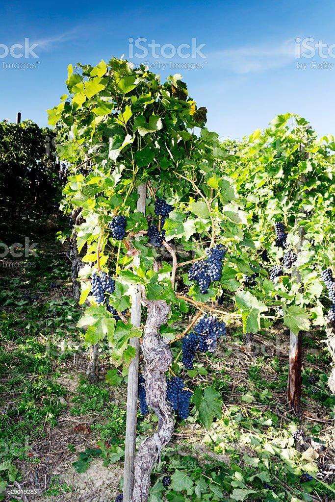 Blaue Weinreben am Weinstock am Rotweinwanderweg, Bad Neuenahr-Ahrweiler, Deutschland stock photo