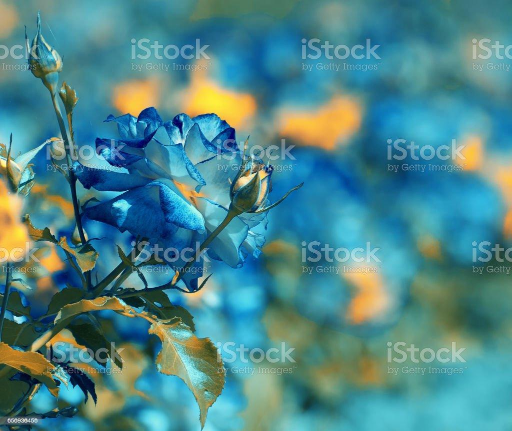 Blue vintage Rosebush in the rose plantation stock photo