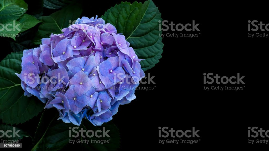 Blue violet hydrangeas flower with dark green leaves on black background. stock photo