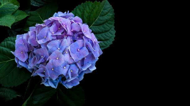 Blue violet hydrangeas flower with dark green leaves on black background. stock photo