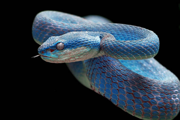 viper azul listo para atacar, insularis azules, trimeresurus insularis - serpiente fotografías e imágenes de stock