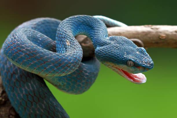 viper bleu prêt à attaquer, bleu insularis, trimeresurus insularis - serpent photos et images de collection