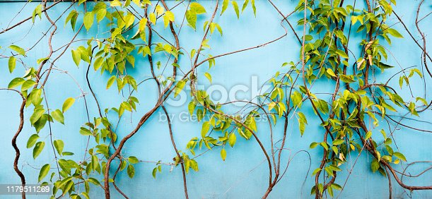 Blue wall with ivy leaves.