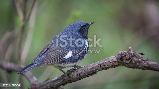 Une paruline bleue dans la forêt boréale du Québec.