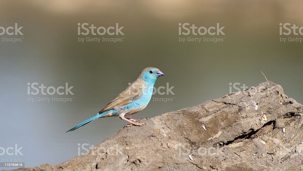Blue Waxbill - Beautiful Birds and Colors from Africa royalty-free stock photo