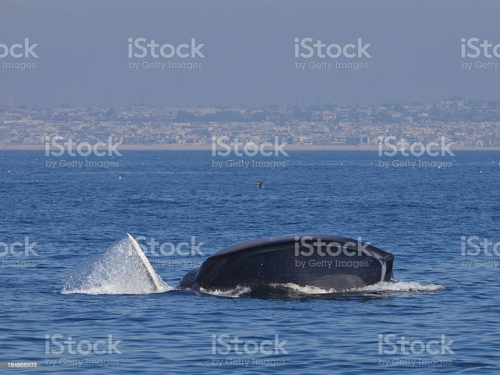Blue Whale Feeding stock photo
