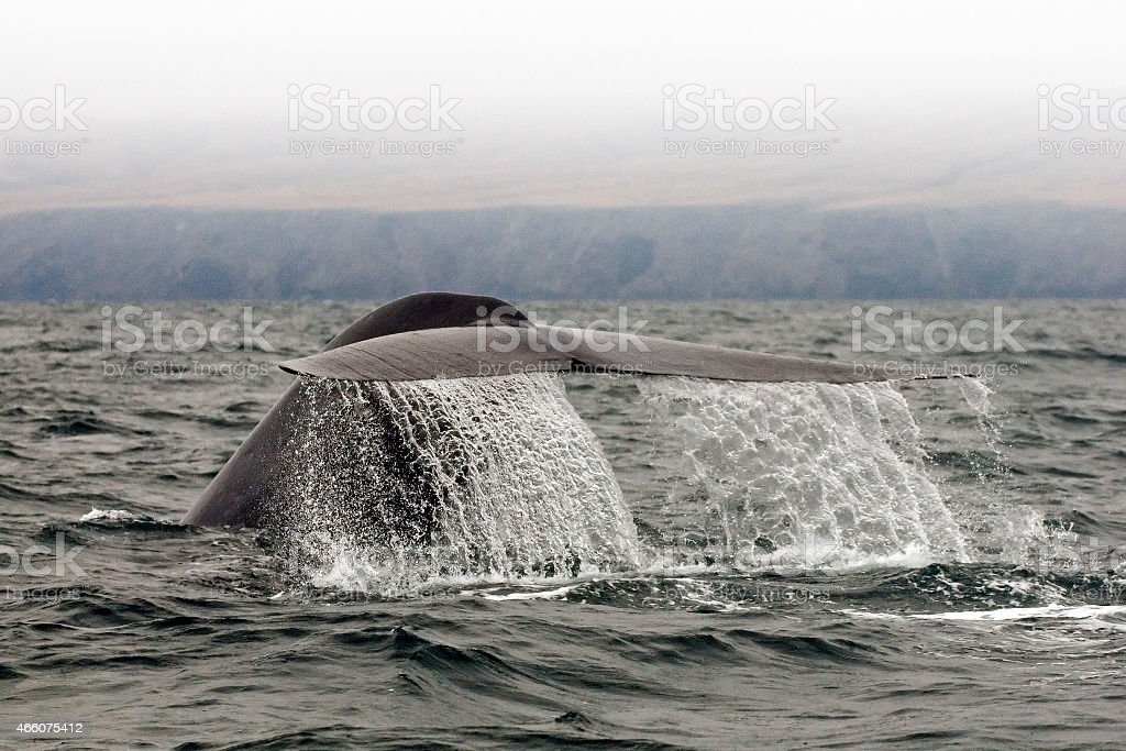 Blue Whale Fluke stock photo