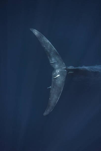 Blue Whale Fluke, Sri Lanka, Indian Ocean stock photo