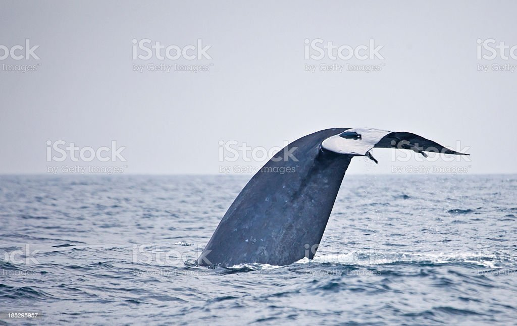 A blue whale fluke with remoras stock photo