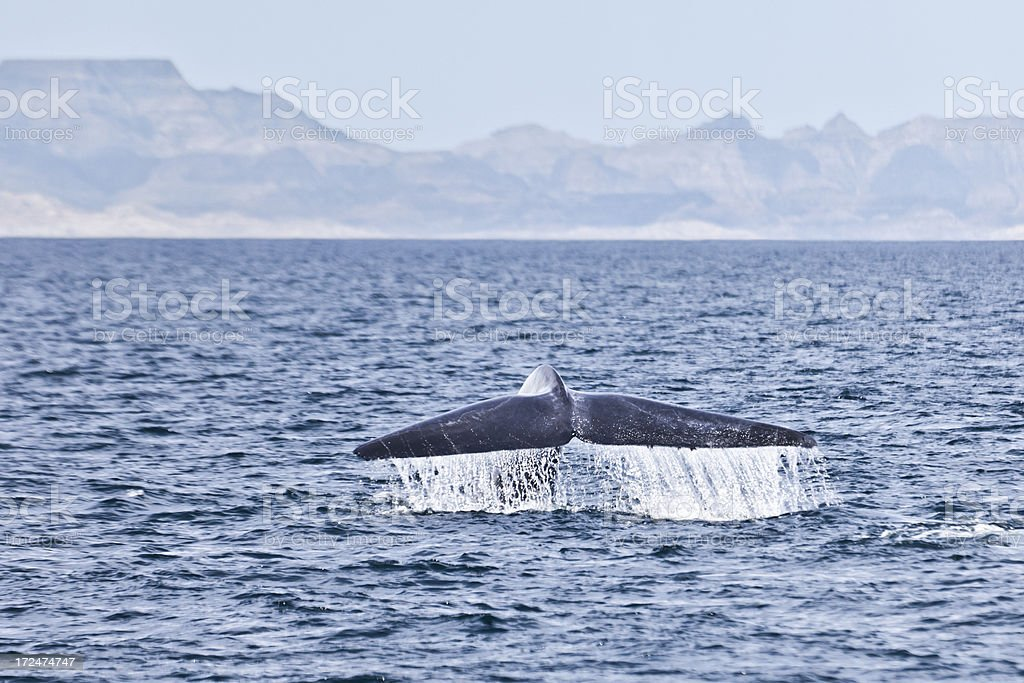 Blue whale (Balaenoptera musculus) fluking, Sea of Cortez stock photo