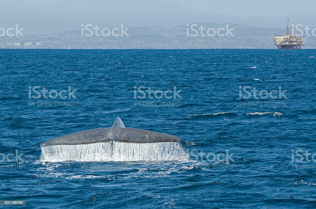 Синий кит от Лонг-Бич стоковое фото
