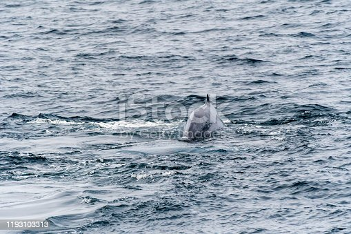 Blue Whale (Balaenoptera musculus) showing tail flukes as it dives near the coast of Svalbard, Norway.