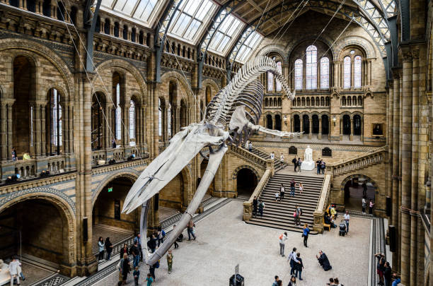 Blue Whale skeleton at the British Natural History Museum stock photo