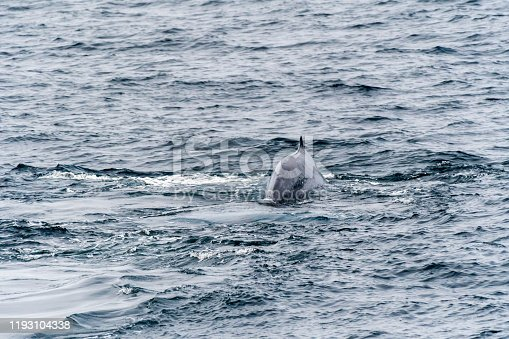 Blue Whale (Balaenoptera musculus) swimming near the coast of Svalbard, Norway.