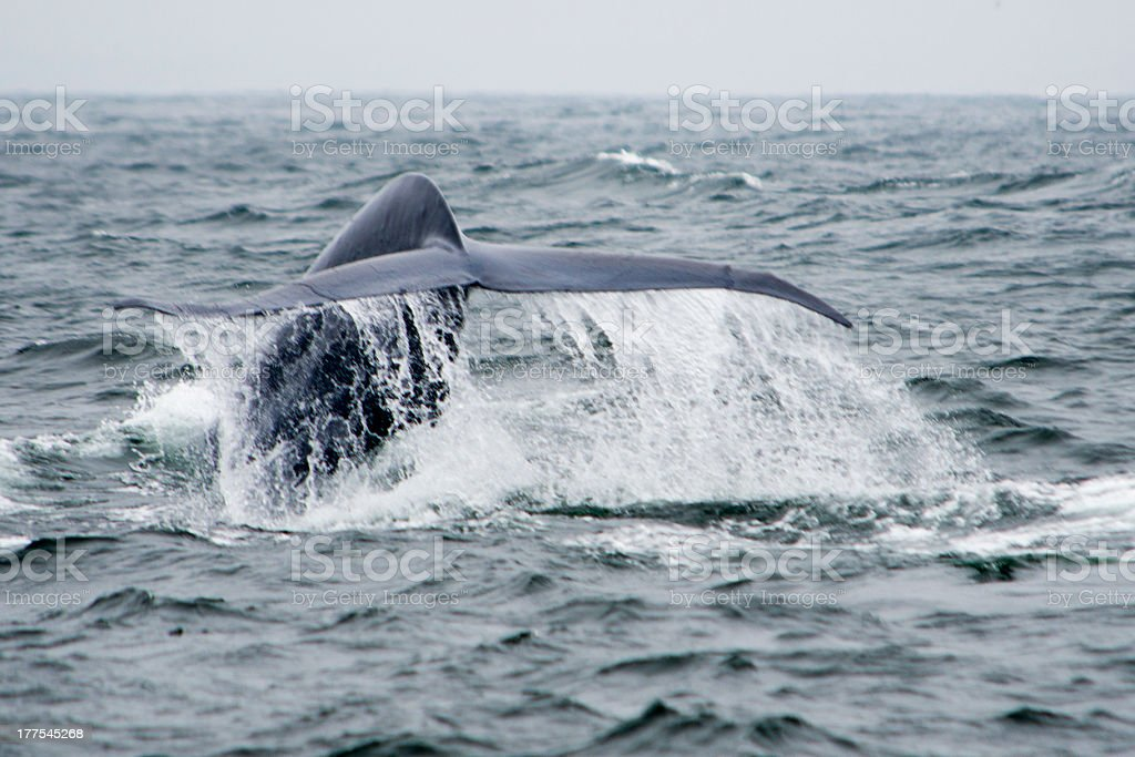 Синий кит с Flukes Летающий стоковое фото